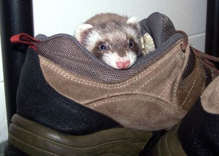 Homemade ferret toys, several ideas for items you can gather for your ferret to play with