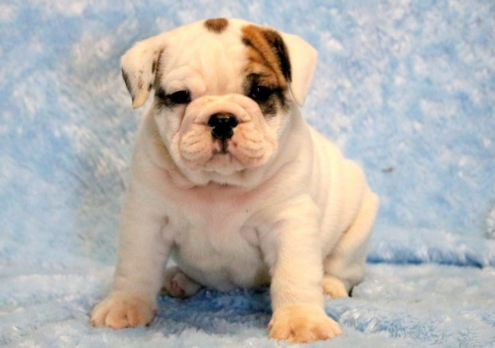 Bozo Dogs Dog Breeds Bulldog Puppies For Sale