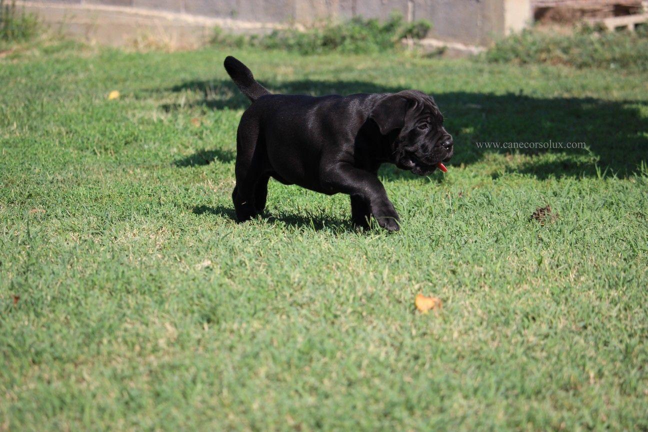 Cane Corso Europe Cane Corso Puppy Kennel Black Cane Corso