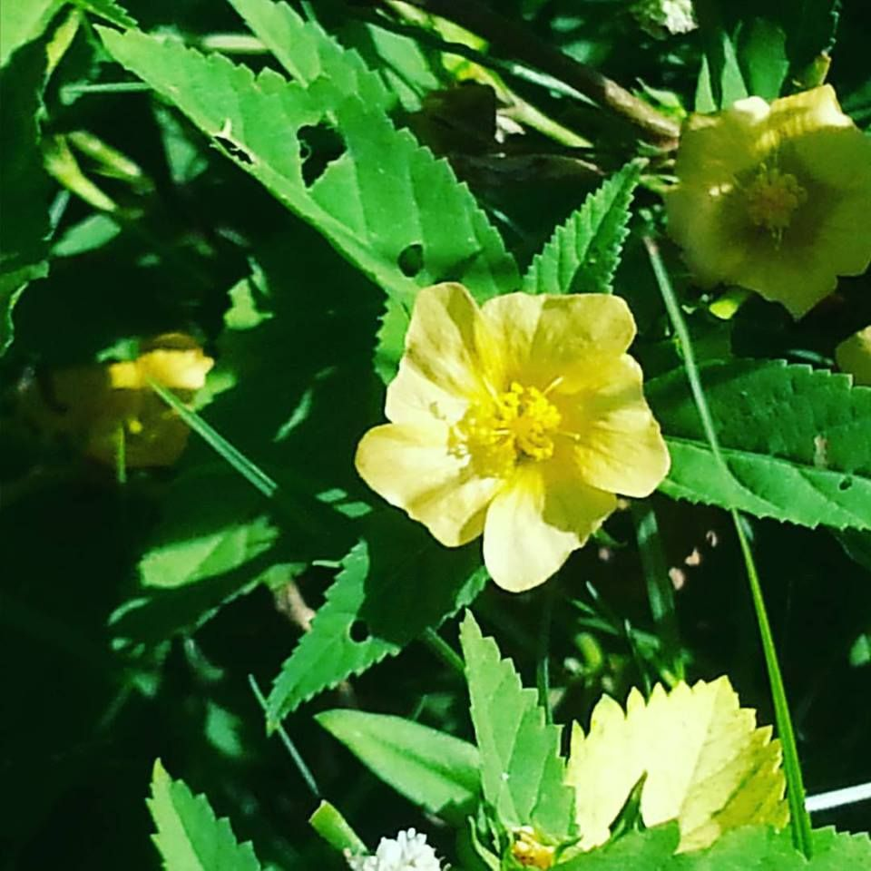 Morning Glory and Buttercup Beautiful flowers, Nature