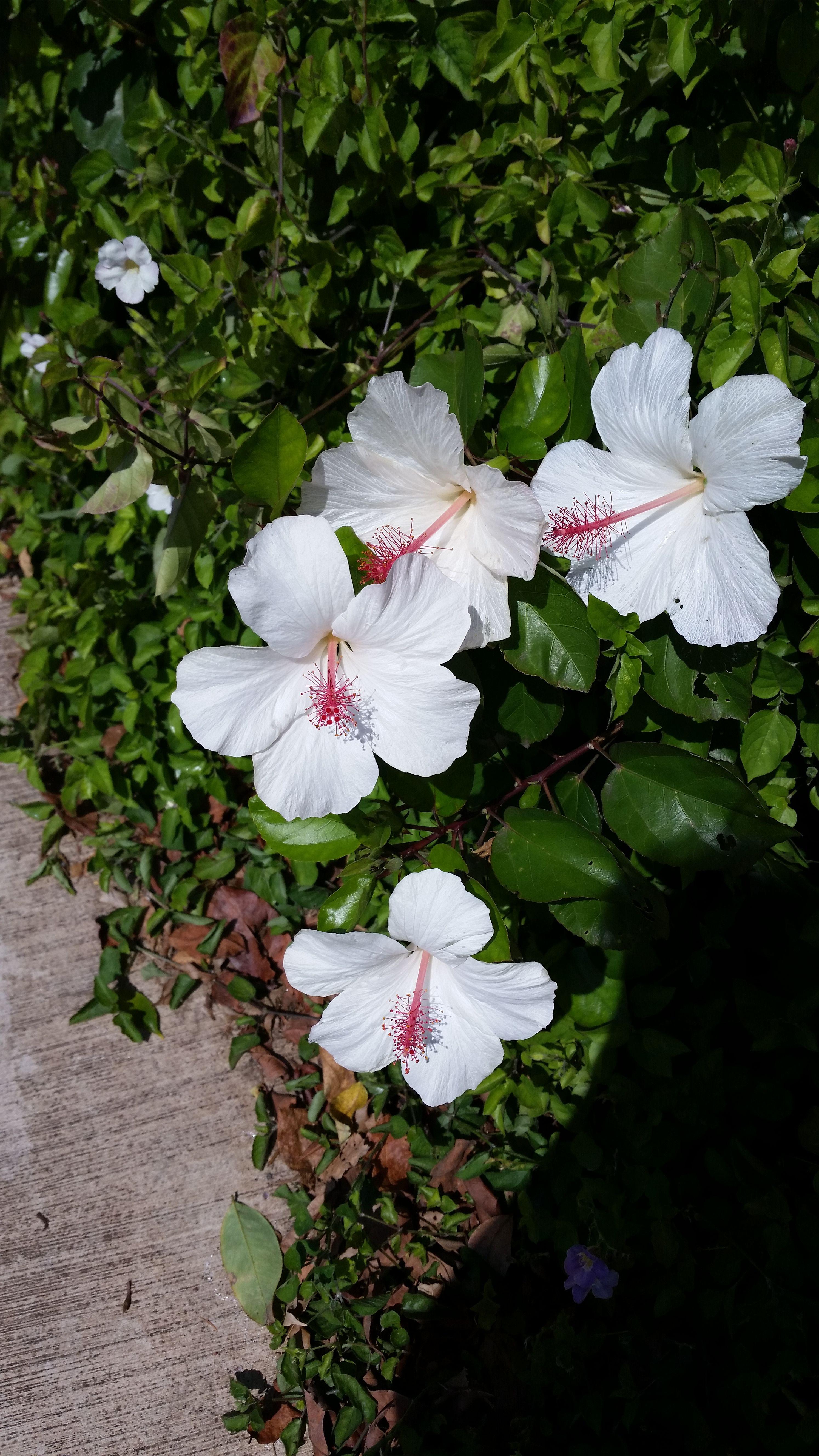 White Hibiscus Wedding Flowers Pinterest White Hibiscus