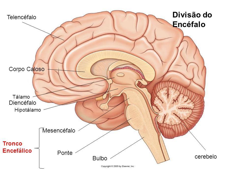 Image result for telencefalo diencefalo mesencefalo | Anatomía ...