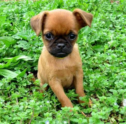 Kowhai Brussels Griffon Smooth Small Dogs Brussels Griffon