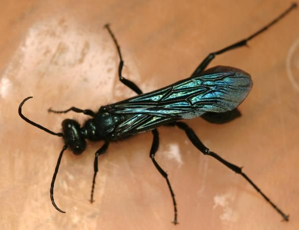Blue Mud Dauber Alive Dorsal Wing Veins Wasp Bees And Wasps Insects