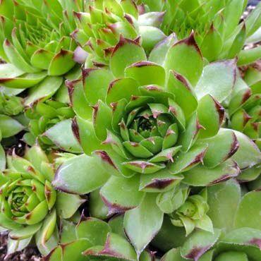 Sempervivum tectorum 'Sunset' - Mountain Crest Gardens