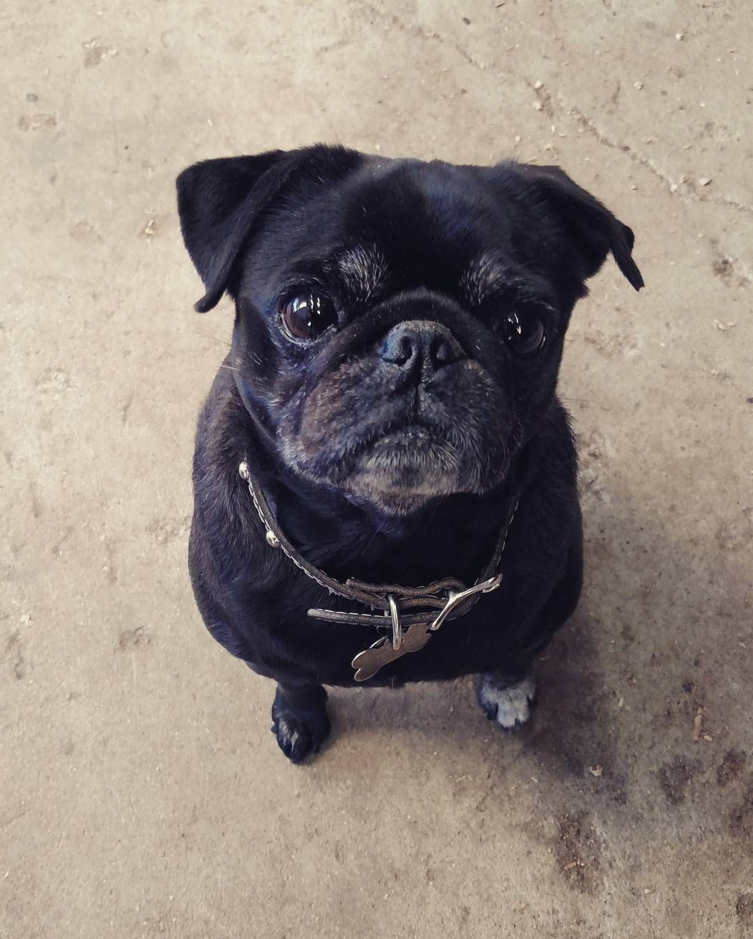 MiMi the pug checking out my lunch. We have 14 dogs in the shop as everyone brings theirs to the shop!