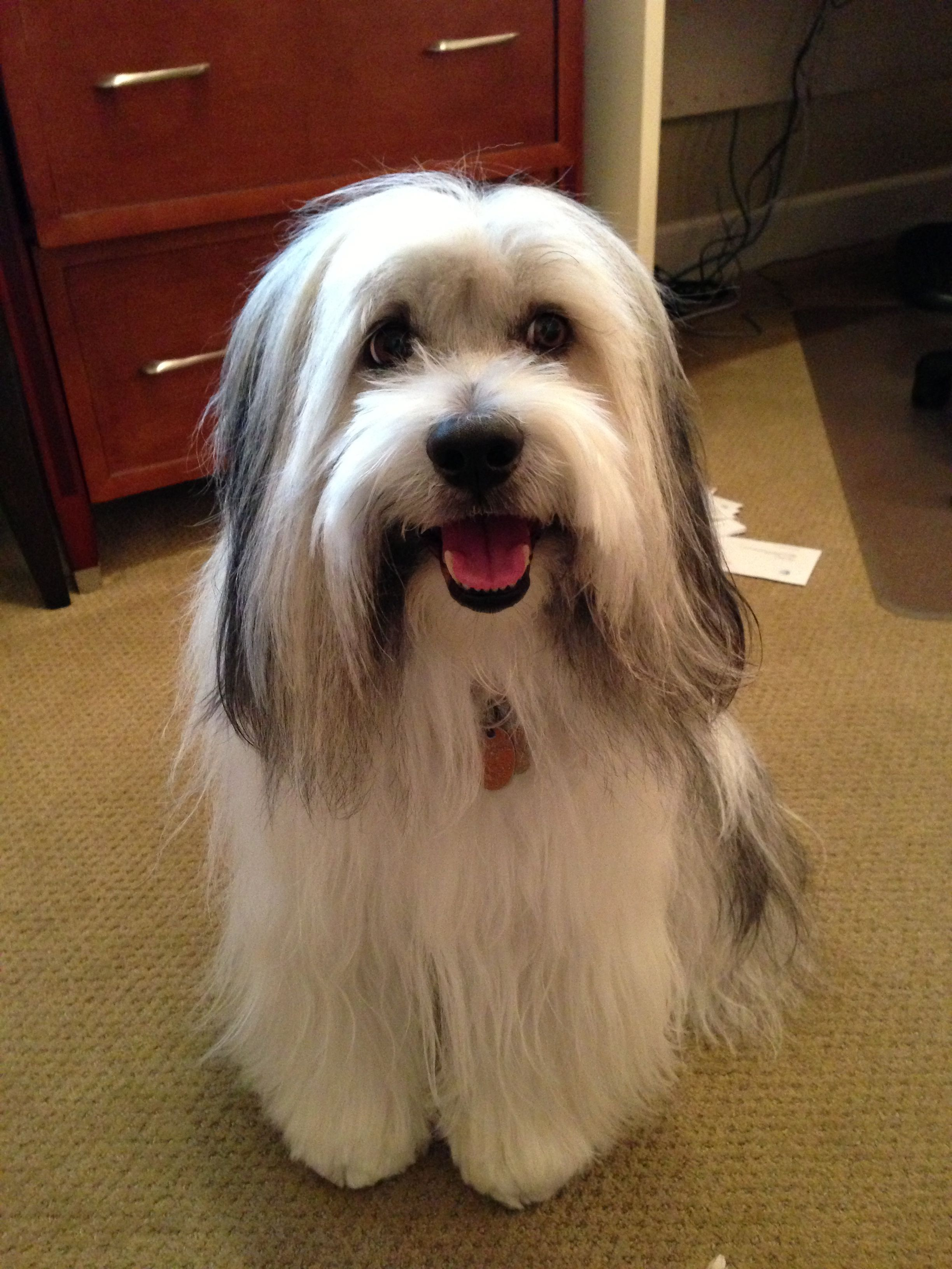 Our Happy Boy Tashi Tibetan Terrier Terrier Puppies Animal Magic