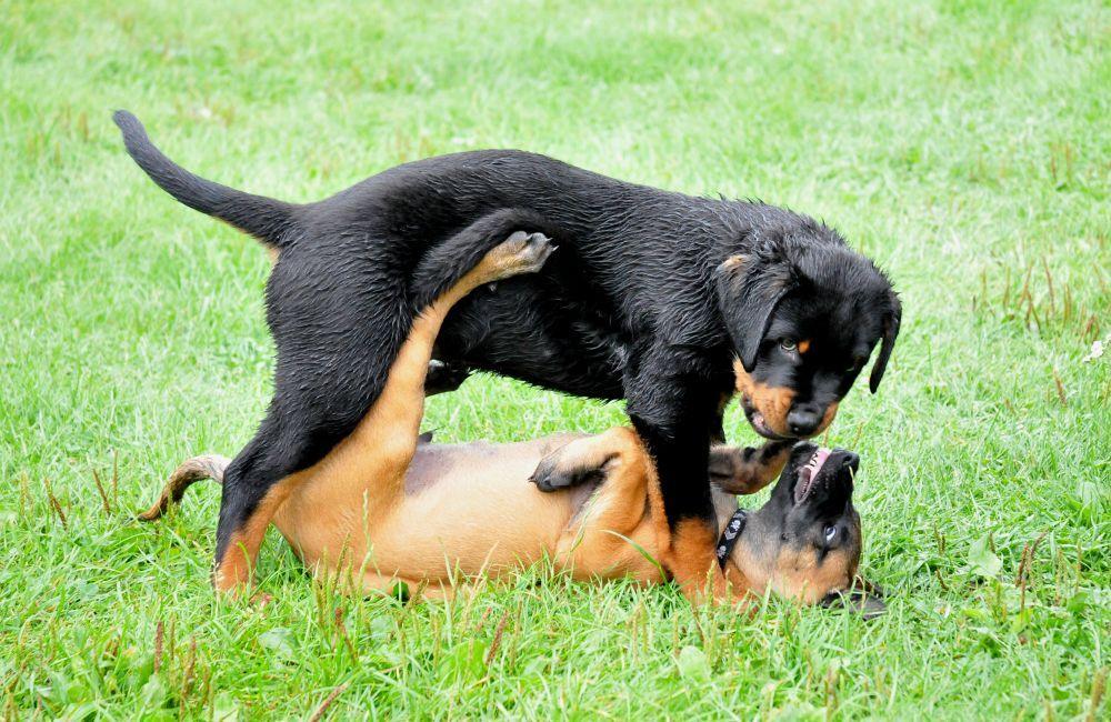 Rottweiler Welpen Beim Spielen Rottweiler Welpen Rottweiler Hund