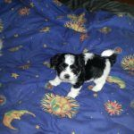 Maltese Shih Tzu Puppies For Sale Qld Shih Tzu Puppy Shih Tzu