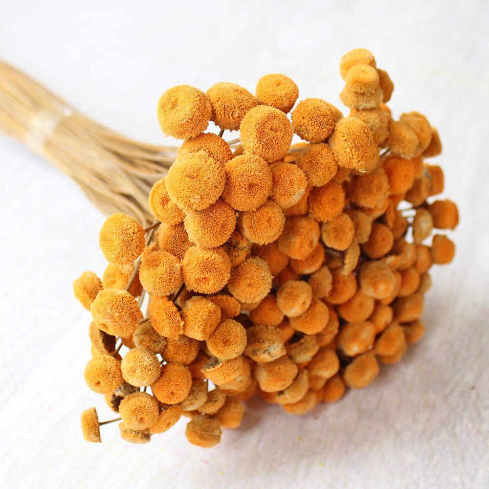 Preserved billy button bundle craspedia in gold orange