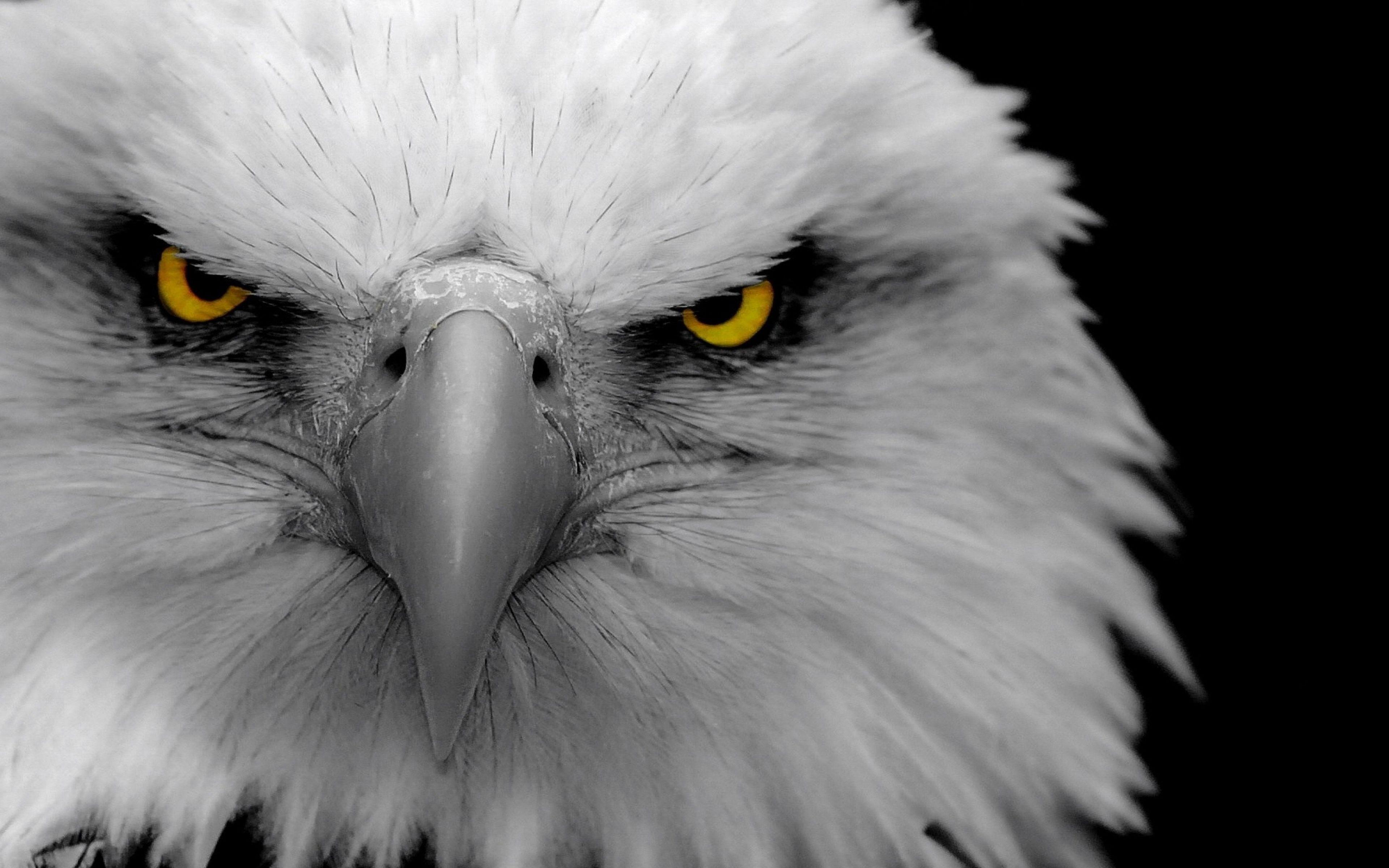 3840x2400 Eikones Mayroy Aetoy Kai Eikones Fontoy Stmed Net Eagle Wallpaper Bald Eagle Pet Portraits Photography Eagle black and white hd wallpaper