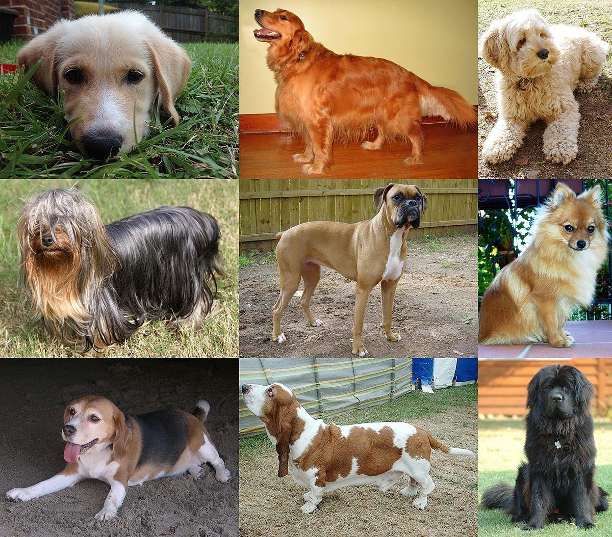Dog Wikipedia Popular Dog Breeds Most Popular Dog Breeds