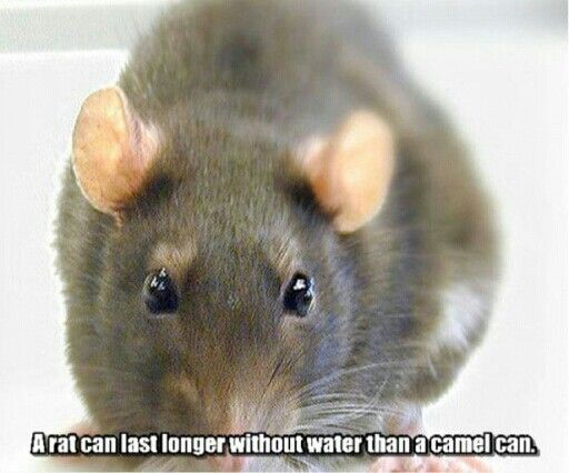 a rat can live longer without water than a camel interesting facts pinterest live long. Black Bedroom Furniture Sets. Home Design Ideas