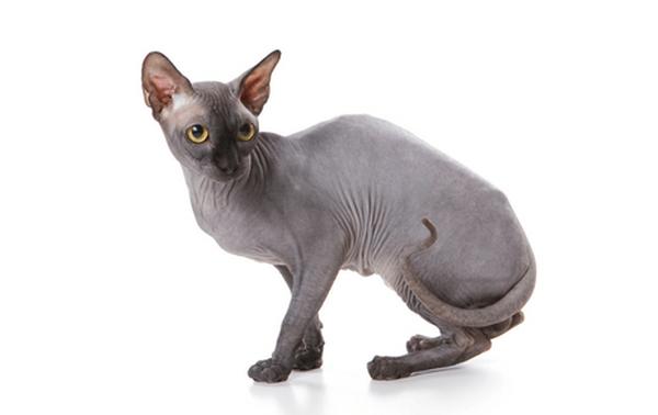 Sphynx Cat Color Palette