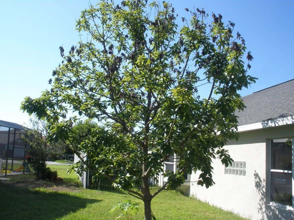 Growing Avocado Trees In Your Yard Avocado Tree Grow Avocado Growing An Avocado Tree