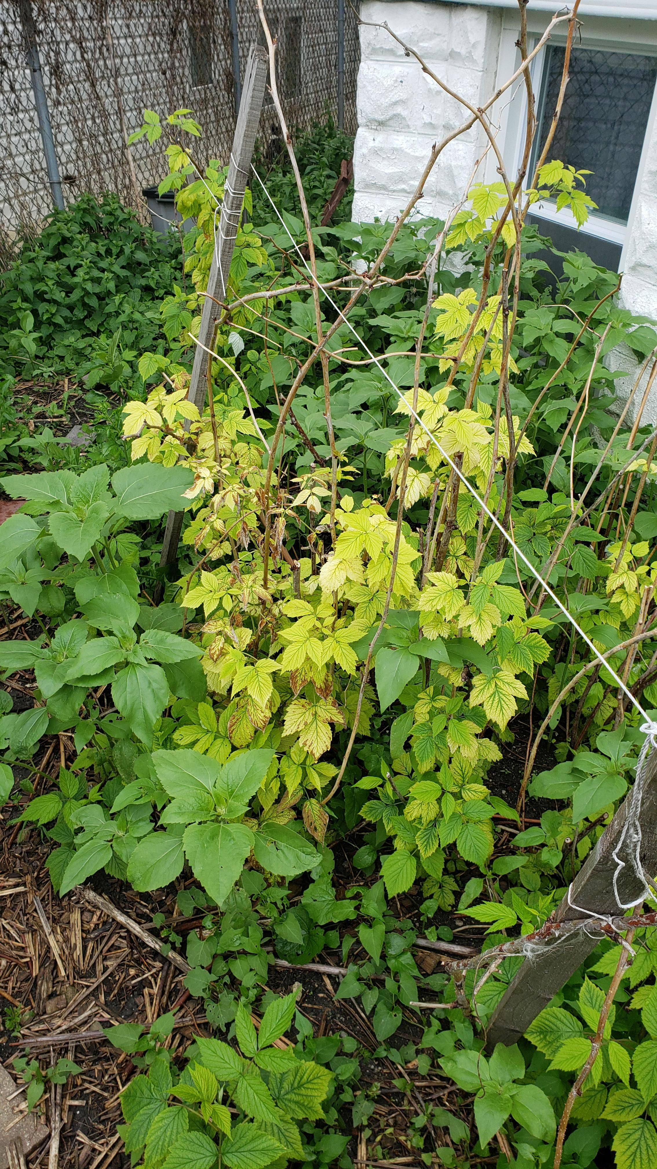 What S Wrong With My Raspberry Bushes Gardening Garden Diy