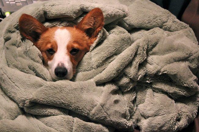 Cute Corgi Wrapped In Blanket Cute Corgi Corgi Thing 1 Thing 2