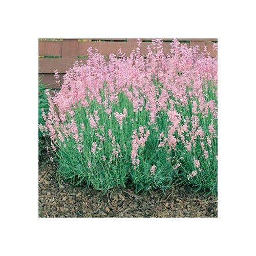 Garden Ideas Zone 6: Pink Lavender Zones 6-8 Perennial