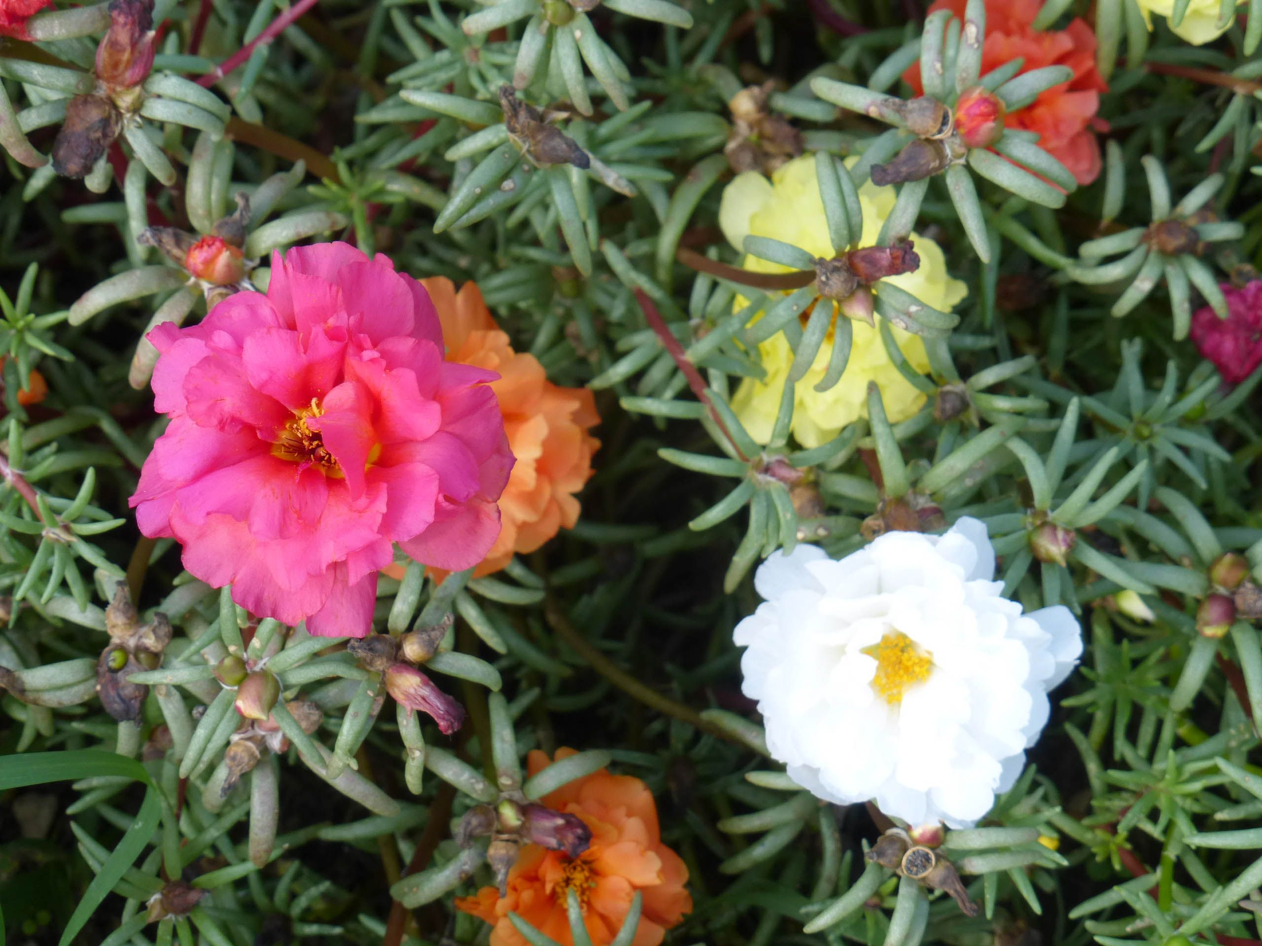 Portulaca Old Fashioned Moss Rose Portulaca Flowers Moss Portulaca Grandiflora