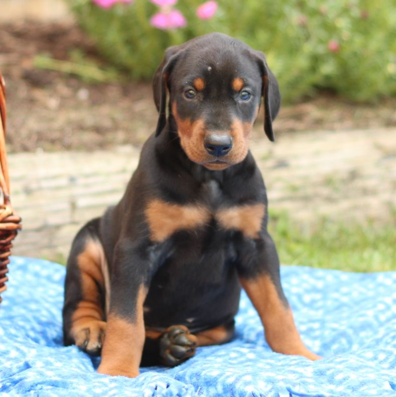 Doberman Pinscher Puppy For Sale In Gap Pa Adn 39468 On