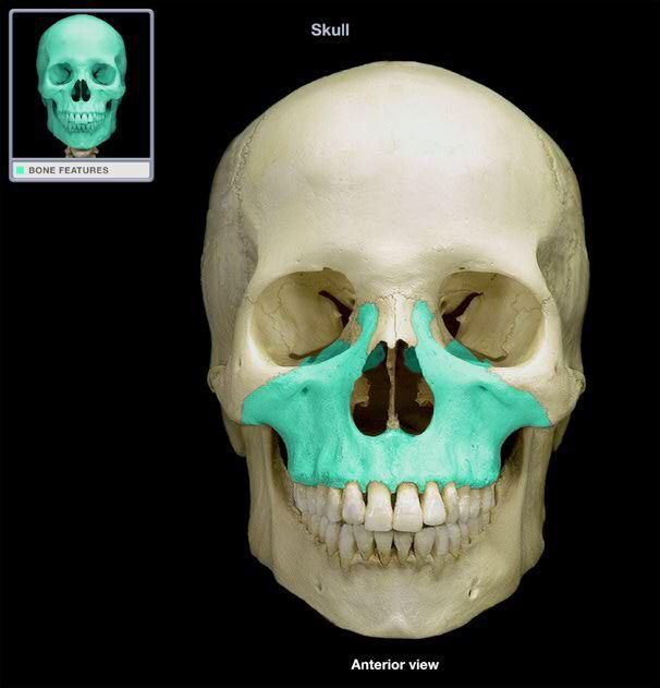 maxillae : 2 bones . upper jaw . articulate with all other facial, Human Body