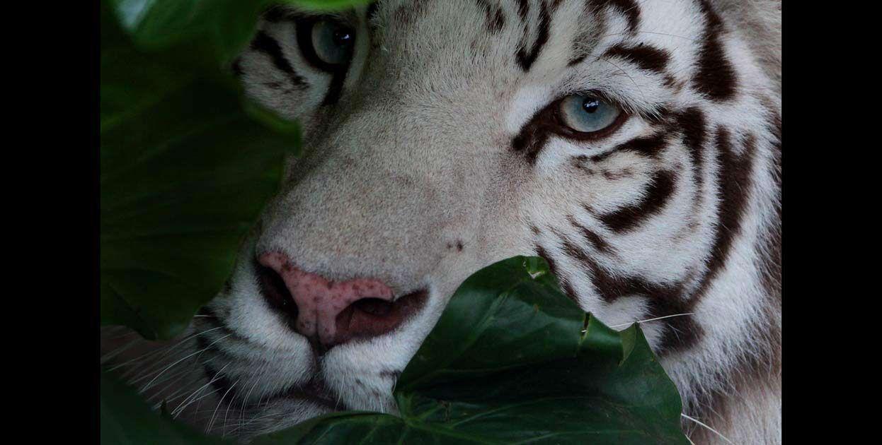 El tigre de bengala blanco es un felino que se encuentra en peligro de extinción. Habita en las selvas tropicales de Asia.