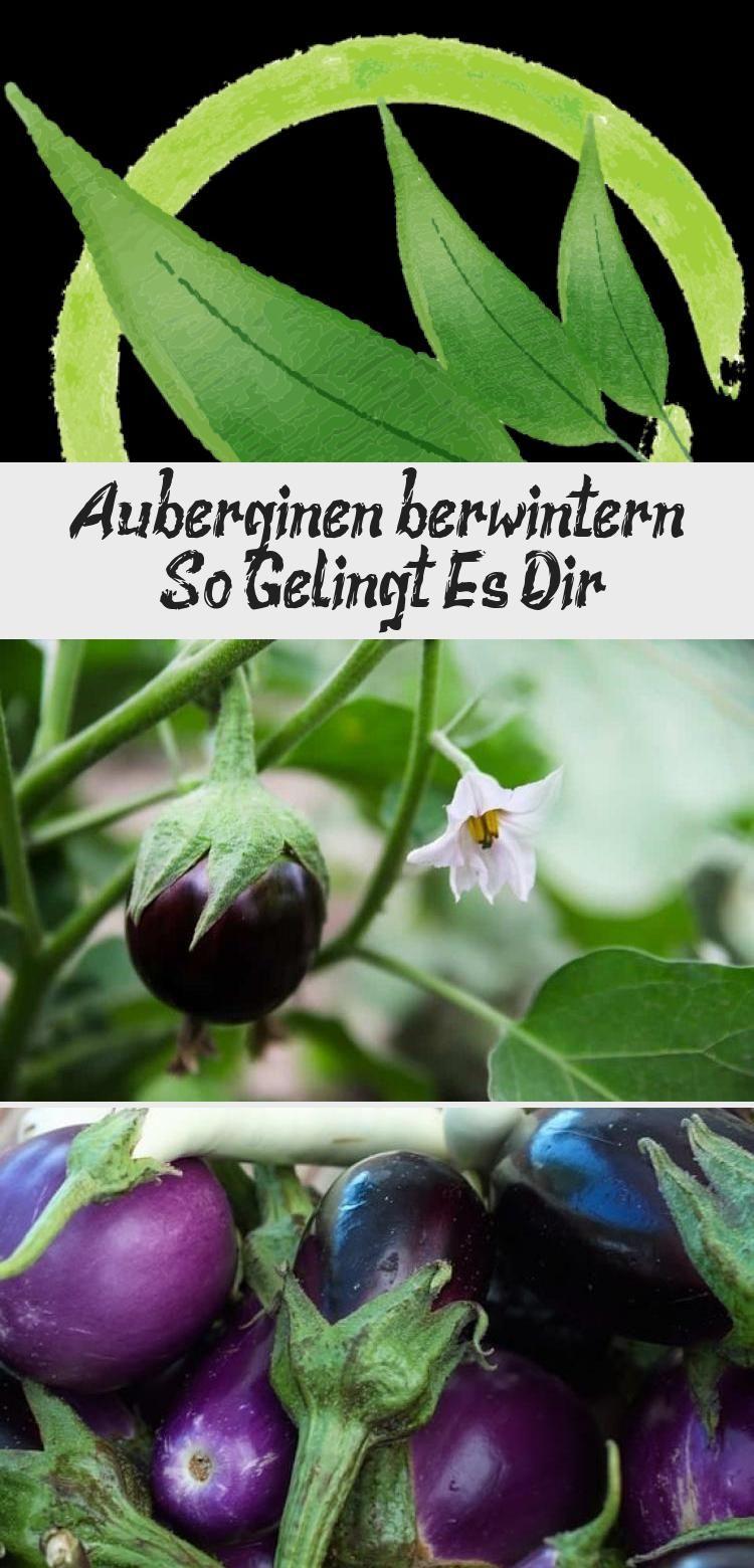Auberginen Uberwintern Aubergine Gemuse Garten Gemusegarten Pflanzentanzen Gemusegarten Vegetables Eggplant Food