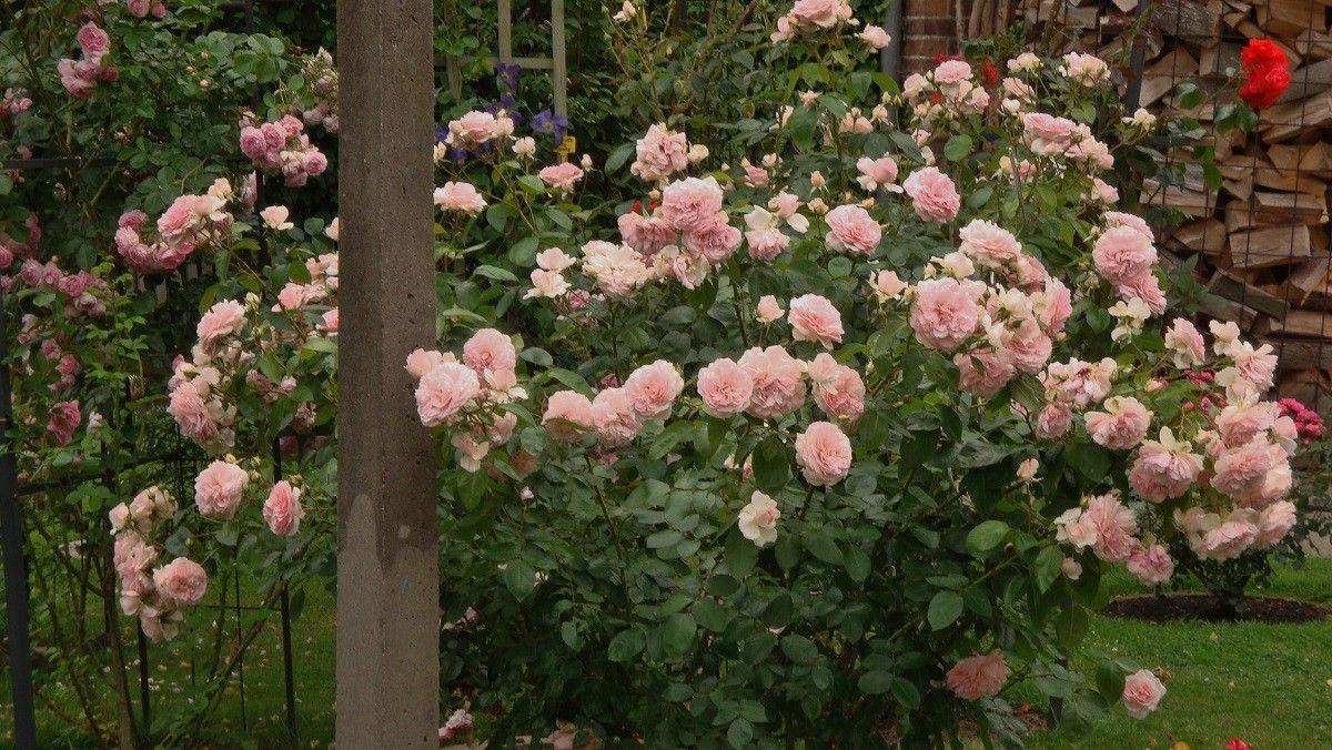 Rosa Farbene Gesunde Reichbluhende Strauchrose Alexandra Princess De Luxemboug Im Rosenparadies Loccum Jardim Flores