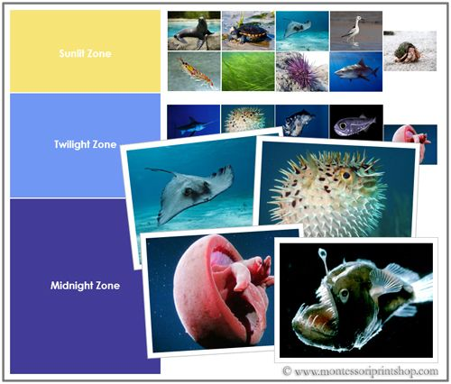 Ocean Zones and Animals | print - diy learning materials/phot cards ...