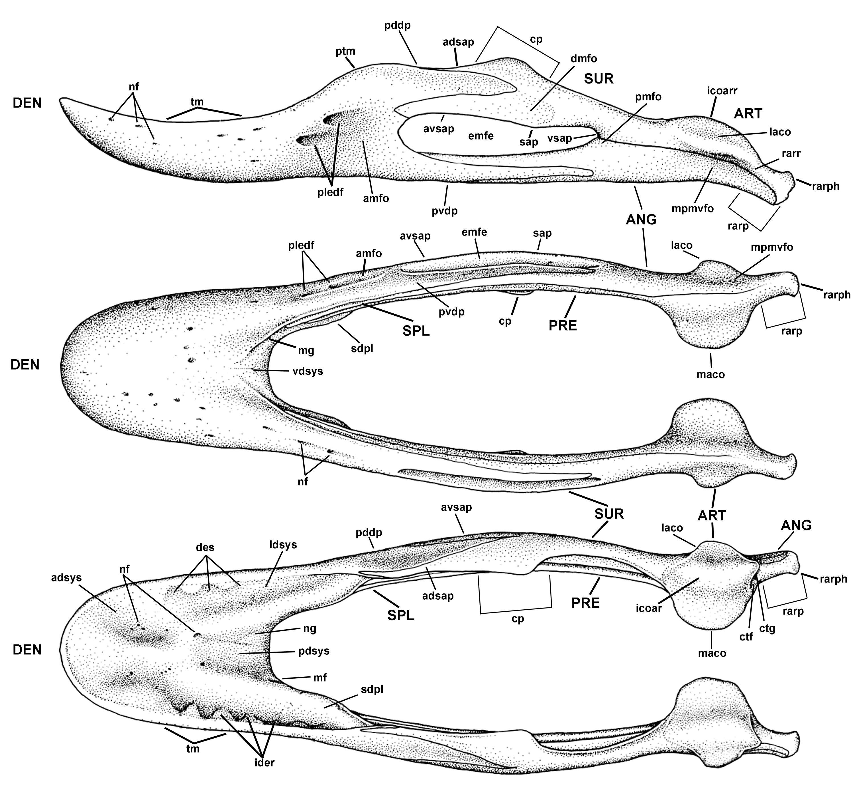 Caenegnathus Mandible