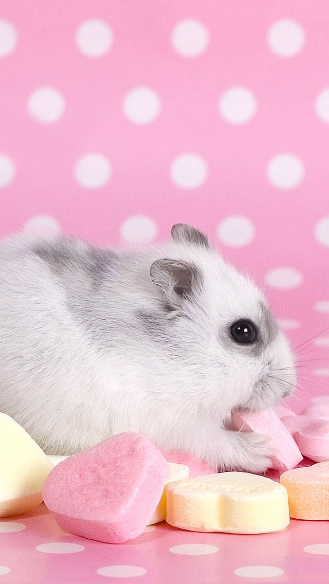 Find A Wallpaper Background Or Lock Screen For Your Iphone Here Hamster Wallpaper Cute Hamsters Hamster