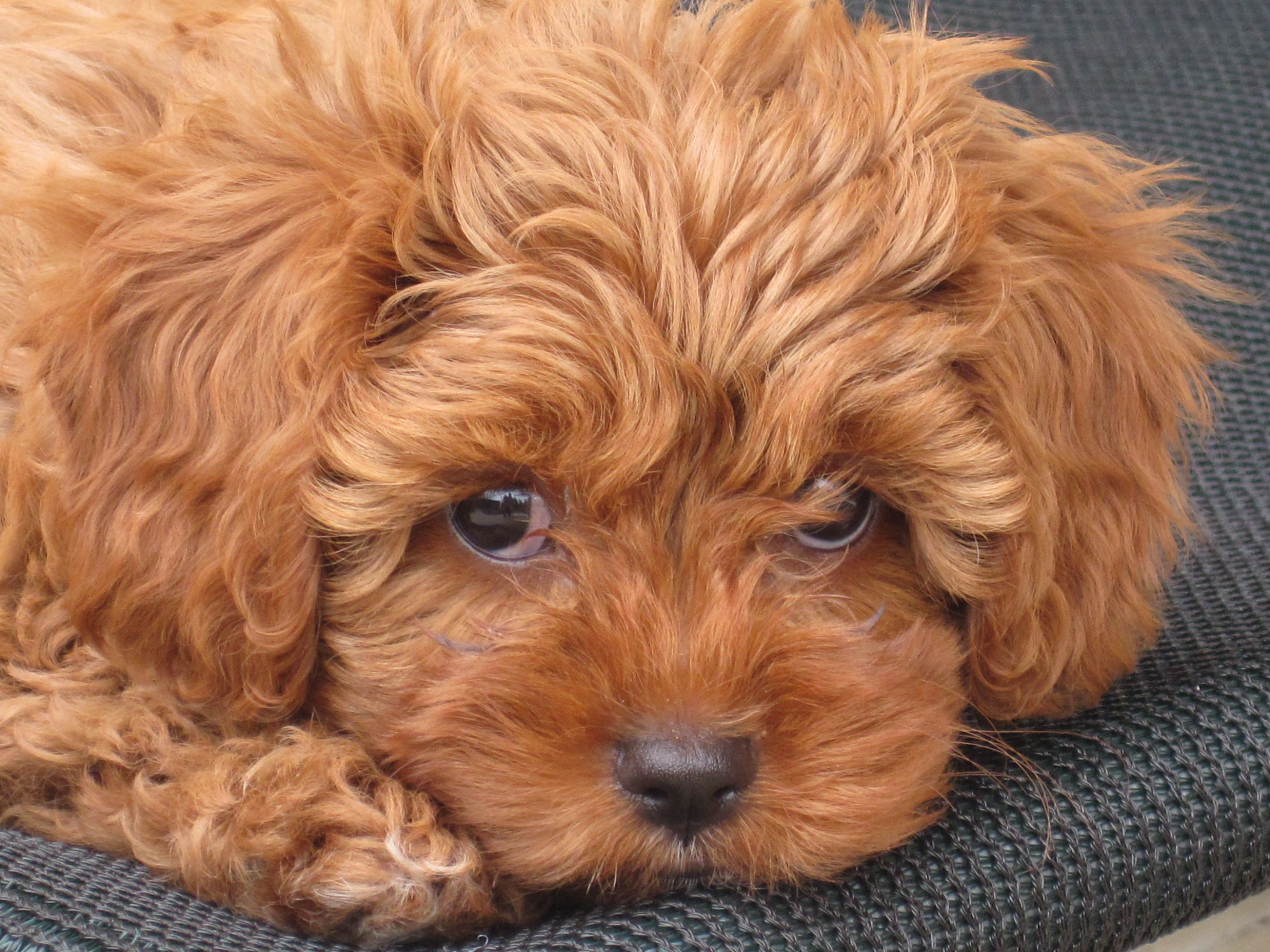 Red Toy Dogs : Red toy cavoodle pocket puppies in their new homes