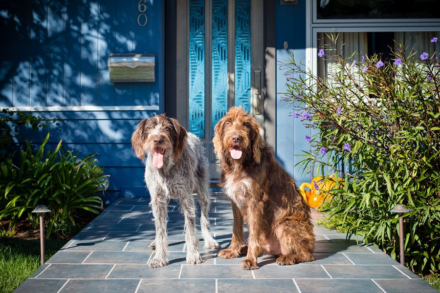 Tomac & Dodge by Westway Studio | German wirehaired pointer ...