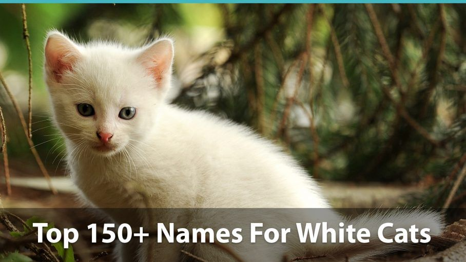 Top 150+ Names For White Cats Funny, Traditional, Unique
