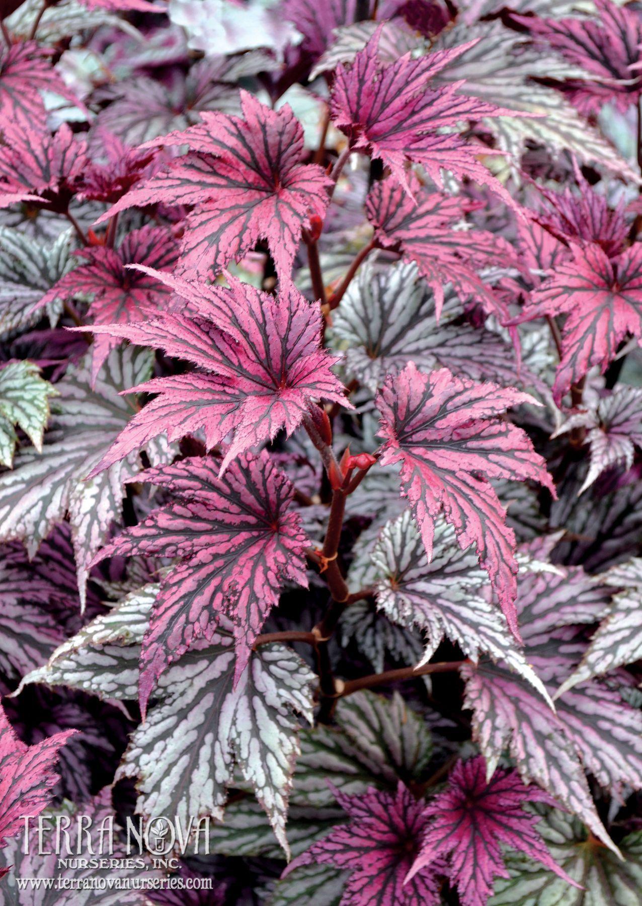 Begonia Garden Angel Blush Pewter Silver Palmate Leaves Resemble Those Of A Japanese Maple Add To That Coal Black Veins Tanaman Dalam Rumah Bunga Tanaman