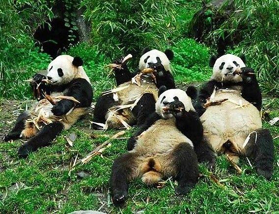 肉食動物の腸を持つパンダがなぜ竹を食べるになったのか その謎が解明される カラパイア 動物おもしろ画像 おかしな動物 パンダ