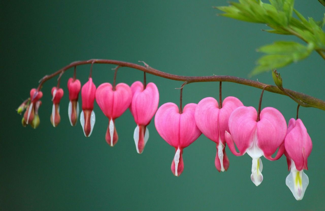 Free image on pixabay bleeding heart herzerlstock bleeding hearts