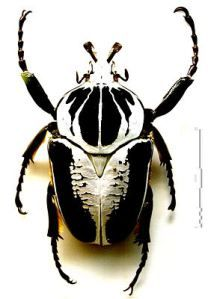 Der Hirschkafer Familie Schroter Grosster Und Auffalligster Kafer In Europa Insekten Kafer Insekt Hirschkafer