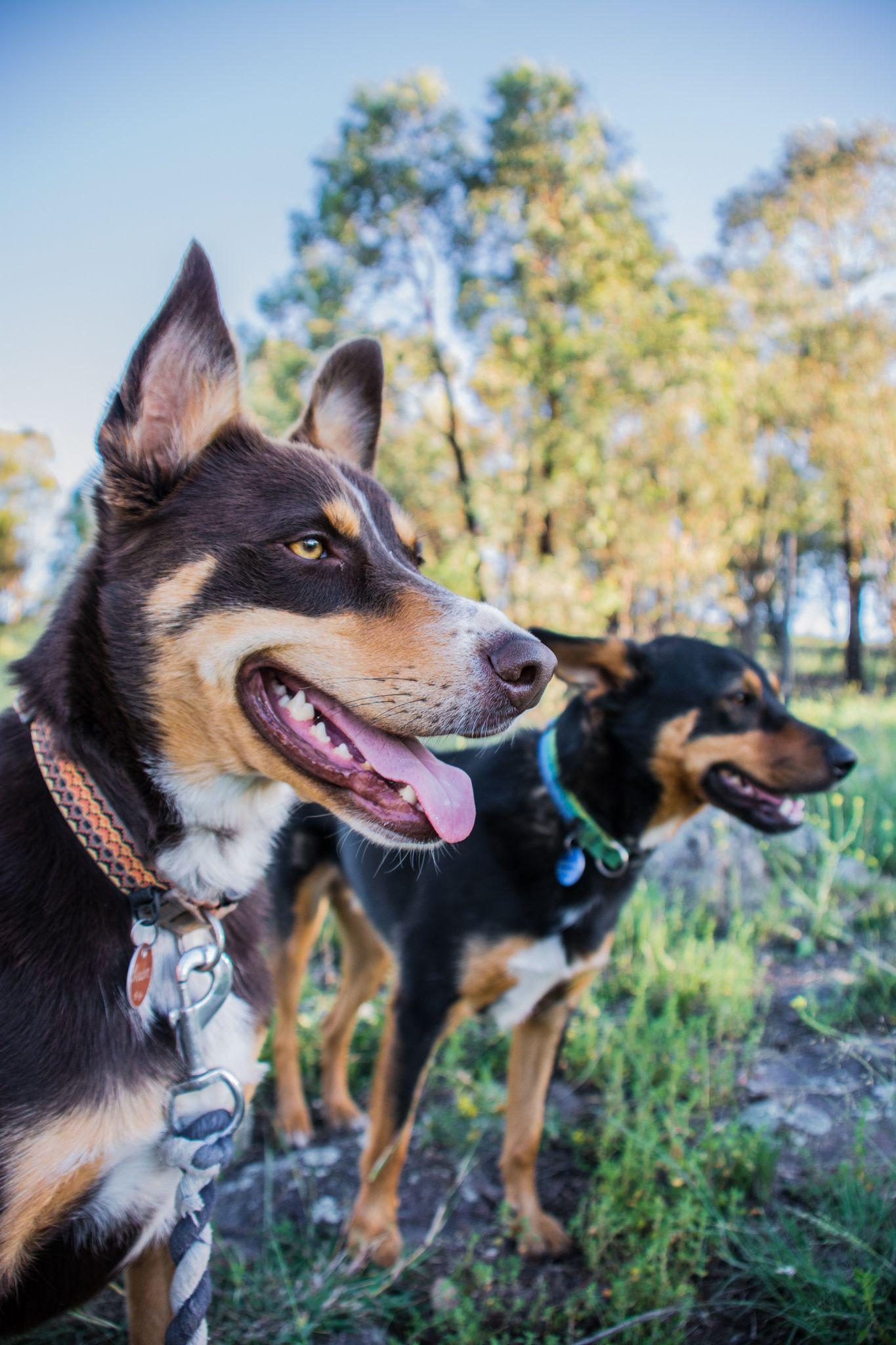 Kelpie Days A pair of Australian Kelpies enjoying a run