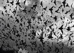 bird swarms pictures - Bing Images