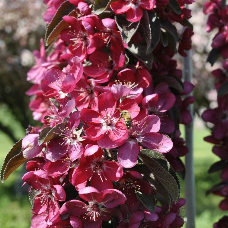 Stark Maypole Flowering Colonnade Crabapple From Stark Bro S Flowering Crabapple Crab Apple Apple Tree
