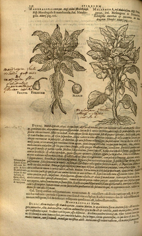 Mandragora, 1576, Matthiae de Lobel, Plantarum, seu, Stirpium historia, Antverpiae ;Ex officina Christophori Plantini, P.138