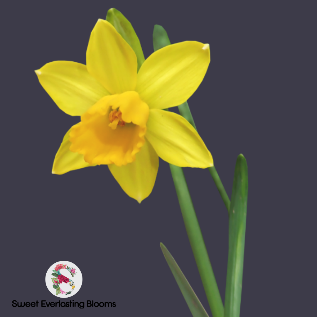 Daffodils Are Perfect For Spring Check Out This