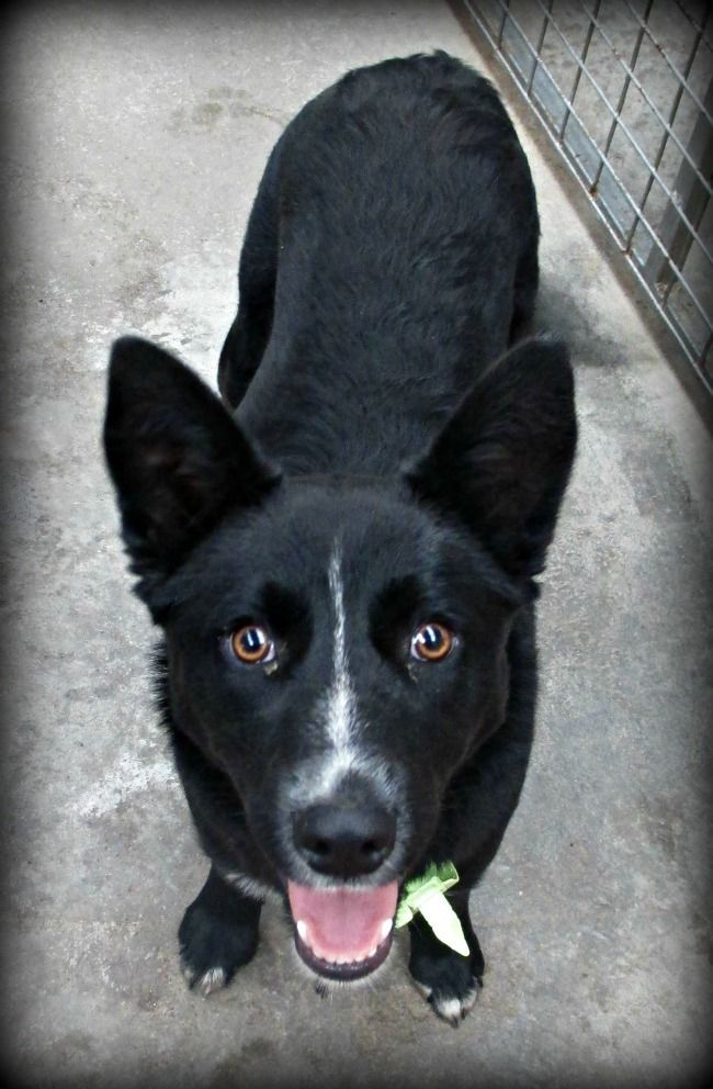 Australian Koolie Dog Photo 5971 Foxy 5 Month Old Female