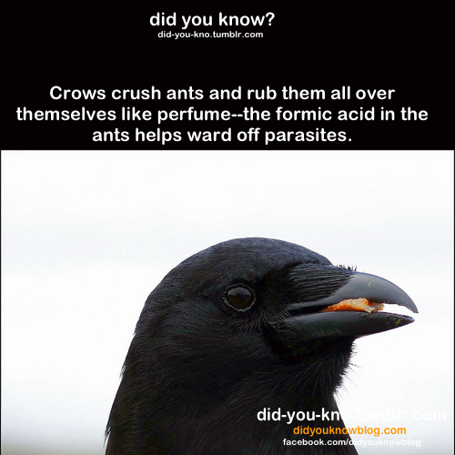 Pin By Kristen Ricks On Did You Know Animal Facts Crow Facts Crow