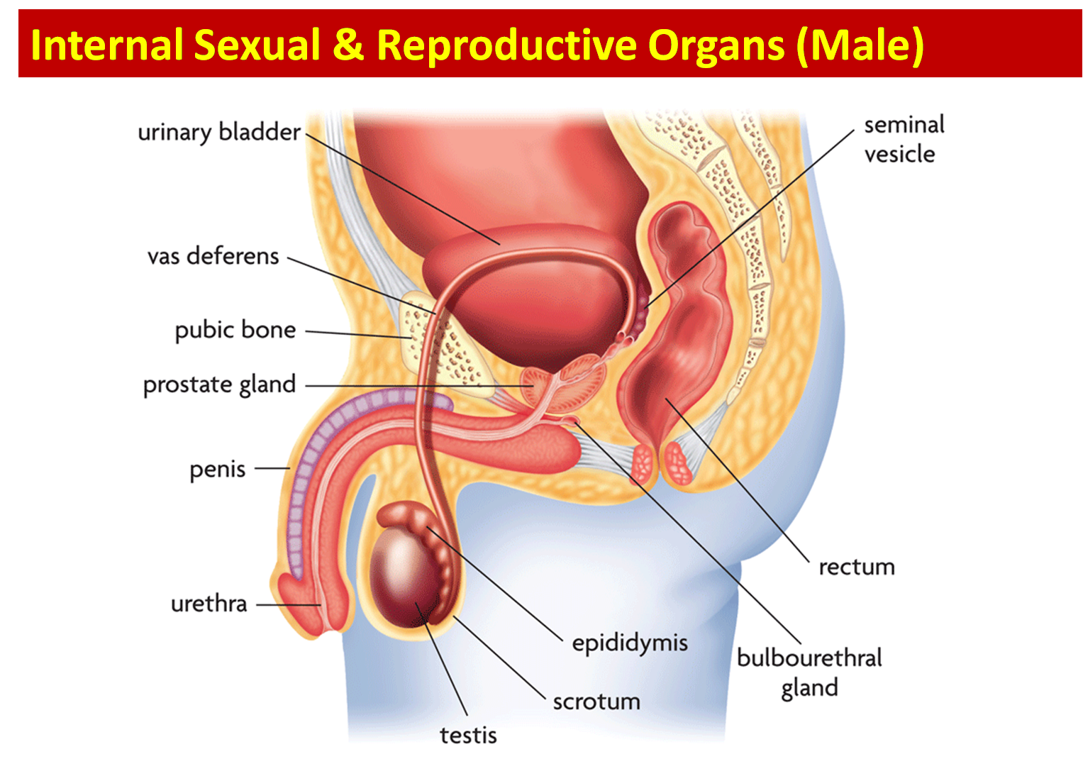 Science 8th Grade Female And Male Reproductive Anatomy Anatomy