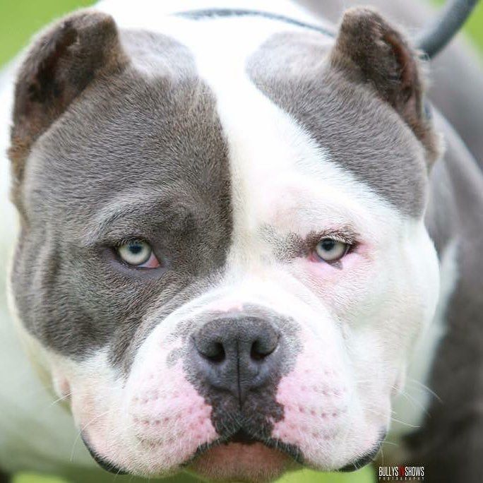 #americanbully Photo Credit to http://ift.tt/1QmKULg