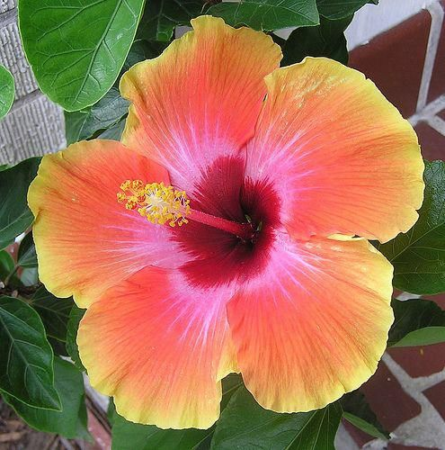 Hibiscus Flower Bloom Holder Hibiscus Mreginahibiscos Pinterest