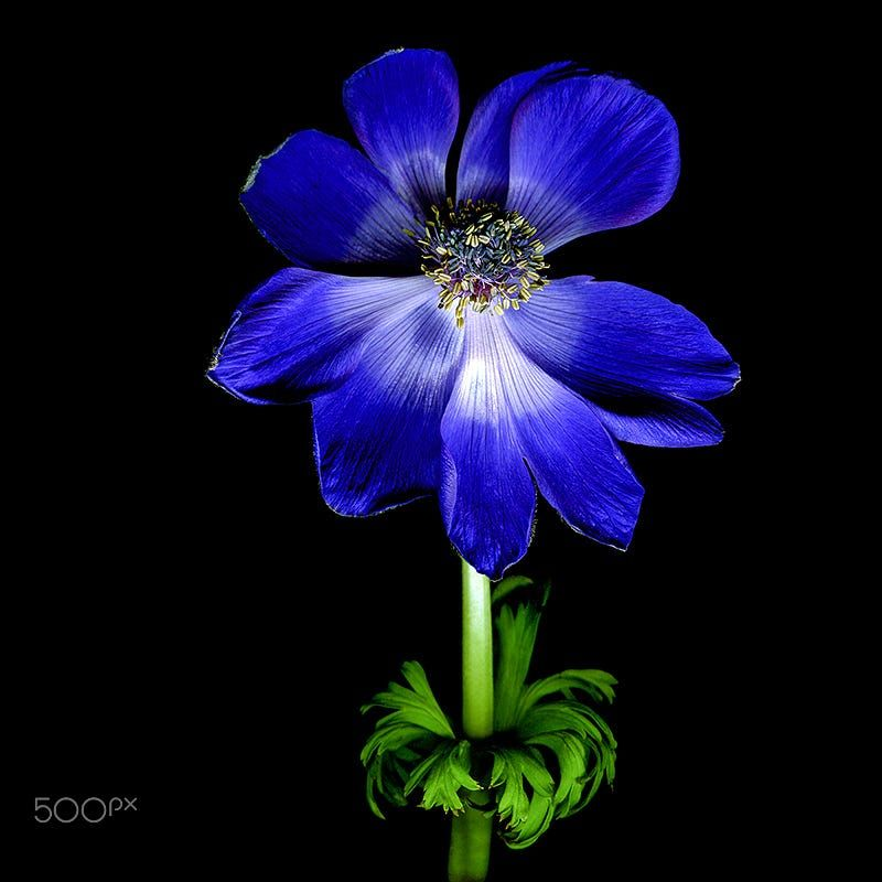 Vibrant Blue Anemone By Magda Indigo On 500px Anemone Flower Art Blue Flowers