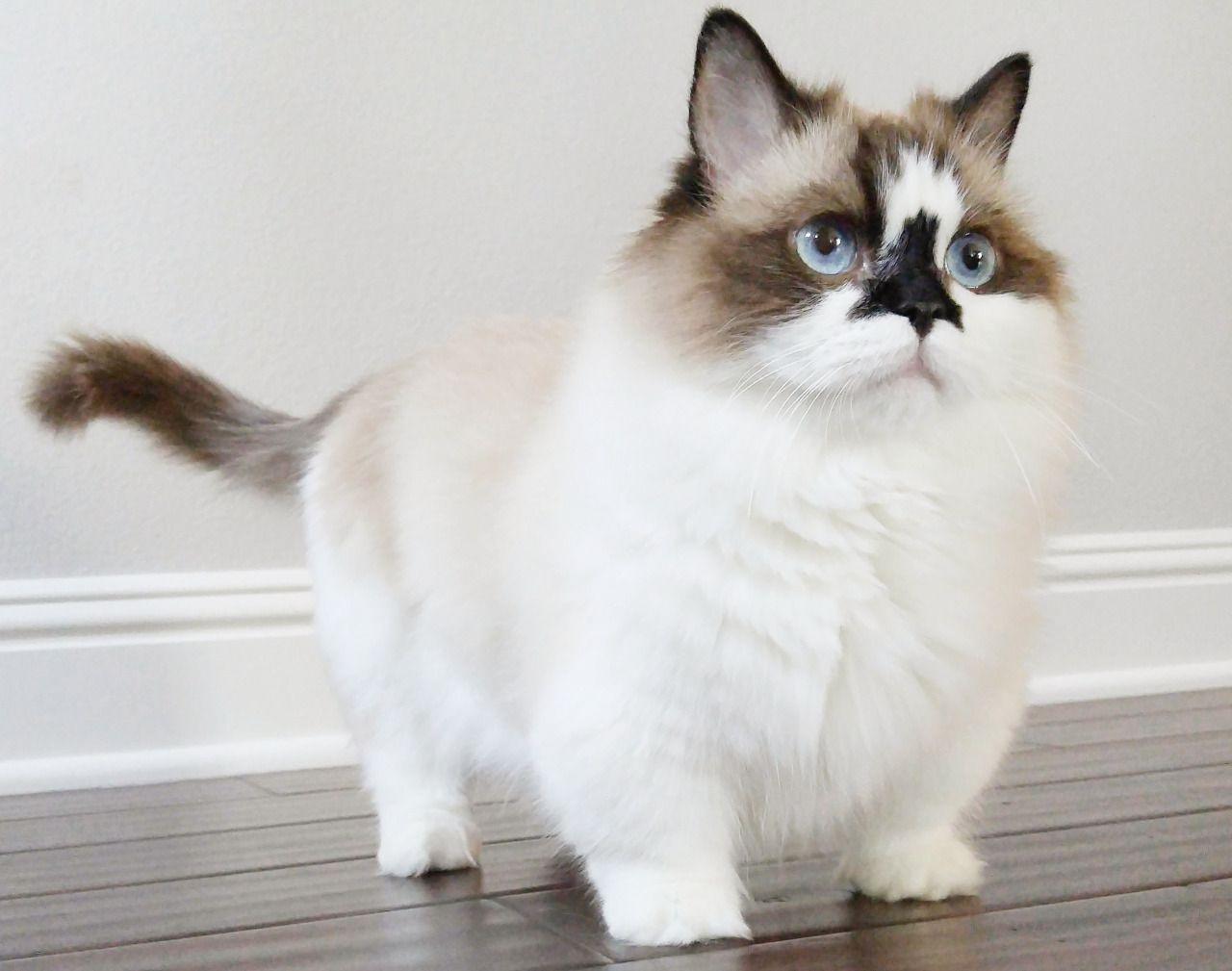 Kittehkats Munchkin Cat Cats Gorgeous Cats